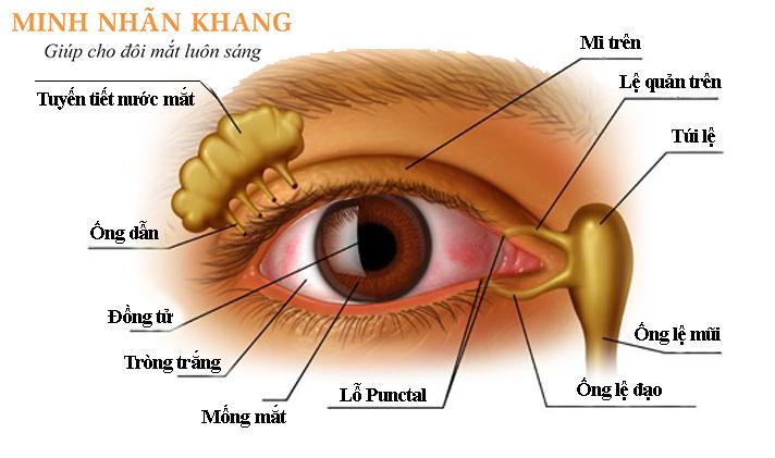 Cấu tạo của tuyến tiết và tuyến lệ của mắt